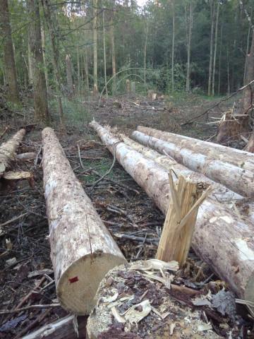 Logging in Białowieża (c) Milieudefensie