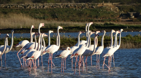 Flamingoes at Ulcinj Salina in Montenegro - (c) CZIP (BirdLife in Montenegro)