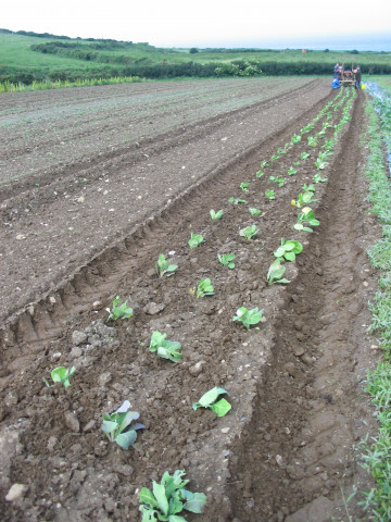 Growing crops on Caerhys farm. Photo: Juta, 2017
