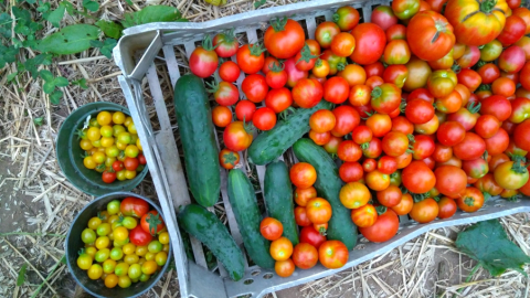 Organic tomatoes harvest from the polytunnel