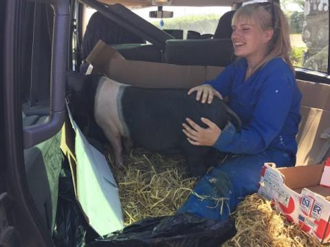 Saddleback pig - agri-activism in Wales