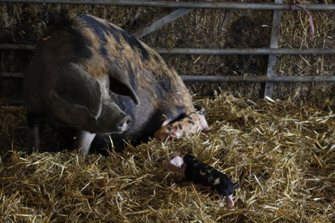 Agri-activism - sow with piglets