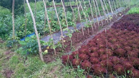 Primrose farm plots