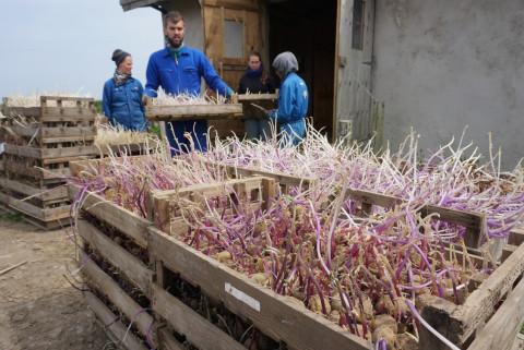 Transplanting vegetables. Photo: Lena