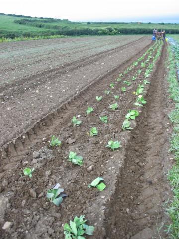 Growing crops on Caerhys farm. Photo: Juta, 2017